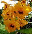 Dendrobium Sp. - Flickr - gailhampshire.jpg