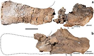 Diamantinasaurus - Comparison between the holotype scapula (above) and referred scapula AODF 836 (below)