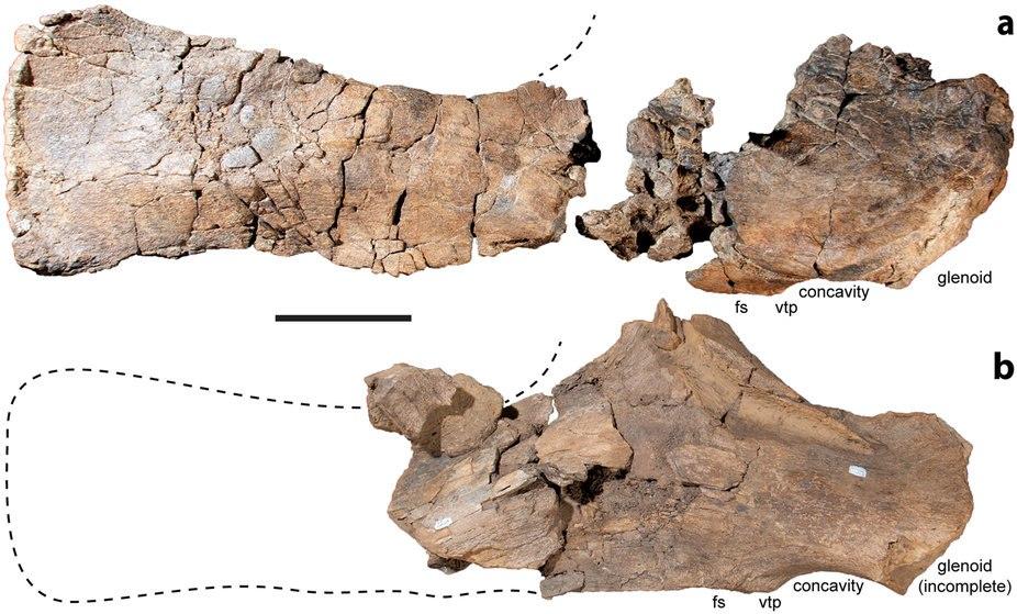 Diamantinasaurus scapula