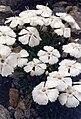 Dianthus alpinus 'albus' 2.jpg