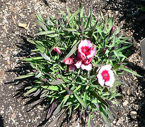 Glossary of botanical terms - Dianthus chinensis has a caespitose growth habit.