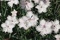 Dianthus japonicus Flowers 3008px.jpg