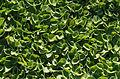 Dichondra repens - Jardin des Plantes.jpg