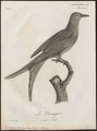 Dicrurus leucophaeus - 1796-1808 - Print - Iconographia Zoologica - Special Collections University of Amsterdam - UBA01 IZ16400081.tif