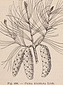 Dictionnaire d'horticulture illustré - par D. Bois préface de Maxime Cornu avec la collaboration de E. André (et al.). (1893) (20717631680).jpg