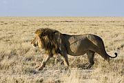 Die pure Kraft - Löwe im Etosha-Nationalpark
