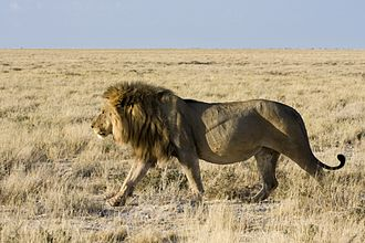 Panthera leo melanochaita - Male lion in Etosha National Park, Namibia