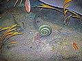 Diorama of a Silurian seafloor - coiled cephalopod eating a eurypterid (sea scorpion) (44804761125).jpg
