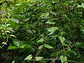 Dioscorea deltoidea (7863868970).jpg