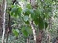 Dioscorea hirsuta-1-kallar-meenmudii-kerala-India.jpg