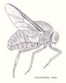 Dip-Acroceridae.png