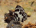 Discolampa ethion – Banded Blue Pierrot 11.JPG