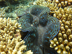 A giant clam (Tridacna sp.)