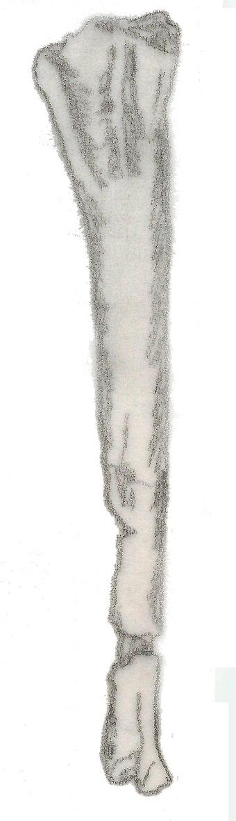 Dolichosuchus fibula