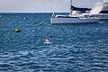 Dolphin in Thomson Bay, Rottnest Island WA.jpg