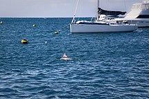 Rottnest Island-Other animals-Dolphin in Thomson Bay, Rottnest Island WA
