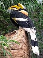 Great Hornbill - bird from Southeast Asia