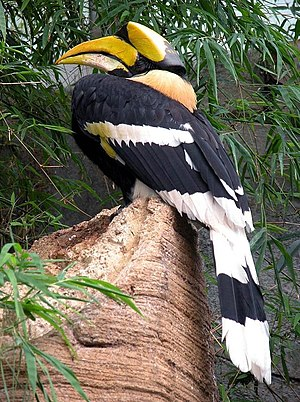 Wildlife of Kerala - A great hornbill (Buceros bicornis) as pictured in a German zoo