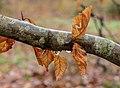 Dor blad van beuk (Fagus sylvatica) na langdurige motregen in maart 01.jpg