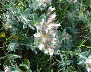 Loteae - Dorycnium hirsutum