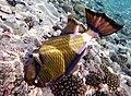 Drückerfisch.Giant Titan Triggerfish.DSCF6714BE.jpg
