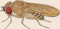Drosophila willistoni Adult Male.png