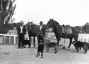 Droving - Drovers New Zealand c. 1950