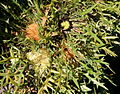 Dryandra cirsioides-4.JPG