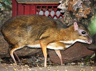 Lesser mouse-deer - A lesser mouse-deer in a Spanish zoo
