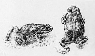 Duttaphrynus hololius - Image: Duttaphrynus hololius