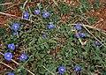 Dwarf Morning-glory (Evolvulus alsinoides) in Hyderabad W IMG 7978.jpg