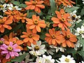 Dwarf Zinnia from Lalbagh flower show Aug 2013 8245.JPG