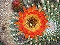 Echinopsis bruchii (3496926845).jpg