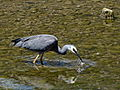 Egretta novaehollandiae -Waikawa Stream estuary, Waikawa Beach, Wellington Region, New Zealand-8 (1).jpg
