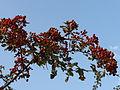 Eingriffliger Weißdorn - Früchte.JPG