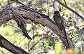 Elegant Trogon (33201429333).jpg