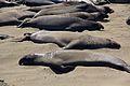 Elephant seals, Piedras Blancas 11.jpg