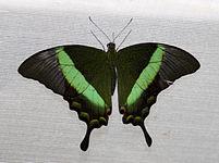 Emerald Swallowtail Butterfly (4866621329).jpg