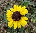 Encelia californica (27535217585).jpg