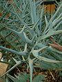 Encephalartos horridus01.jpg