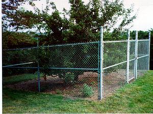 Endicott Pear Tree - The Endicott Pear Tree in 1997