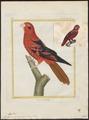 Eos squamatus - 1700-1880 - Print - Iconographia Zoologica - Special Collections University of Amsterdam - UBA01 IZ18500320.tif