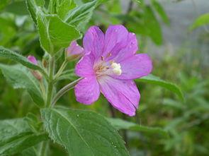 Kleinblütiges Weidenröschen (Epilobium parviflorum)