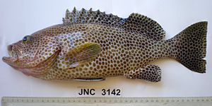 Brown spotted reef cod - Epinephelus chlorostigma from New Caledonia