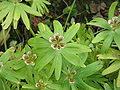 Eranthis hyemalis open seed pods.jpg