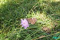 Erebia ligea (Heit. See) (24534888042).jpg