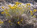 Ericameria nauseosa or Chrysothamnus nauseosus naueosus (4004888640).jpg