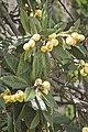 Eriobotryas japonica-2098.jpg