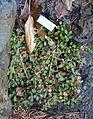 Eriogonum umbellatum 'Bear Tooth Pass' - Dunsmuir Botanical Gardens - DSC02920.JPG