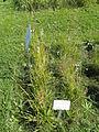Eriophorum angustifolium - Botanical Garden in Kaisaniemi, Helsinki - DSC03526.JPG